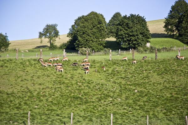 A farm raising domesticated deer.