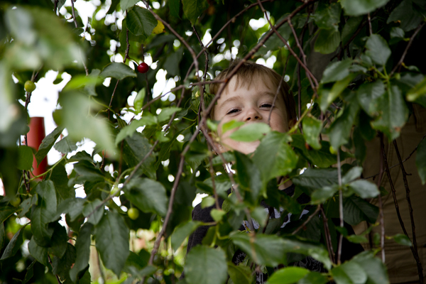 Little Man playing in the sour cherry tree.