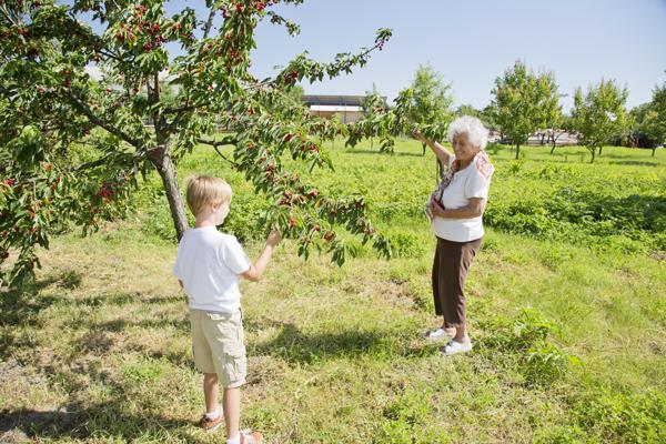 Dédi teaches Big Guy the proper technique for picking cherries