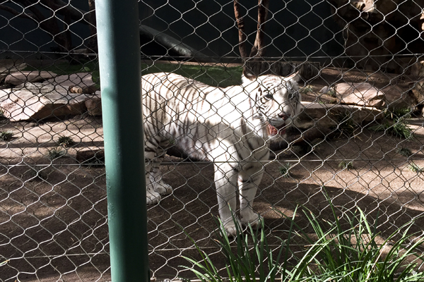 """This tiger was pacing back and forth while staring at all of the little children. He seemed hungry and I wasn't the only one to notice. Little Man remarked, """"I bet if that fence wasn't there, he would try to eat us."""""""