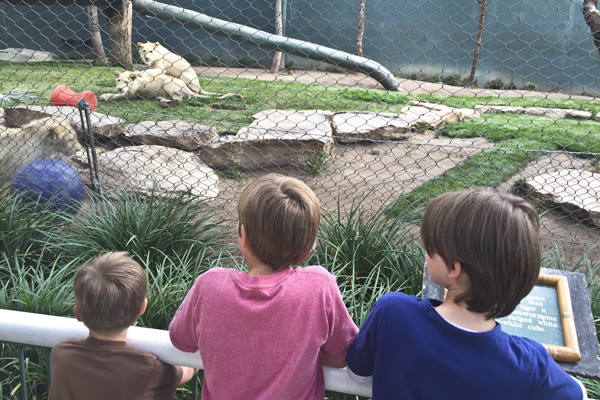 Watching the young lion cubs wrestle just like little boys