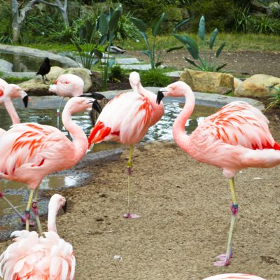 Santa Barbara Zoo 003 Chilean Flamingos