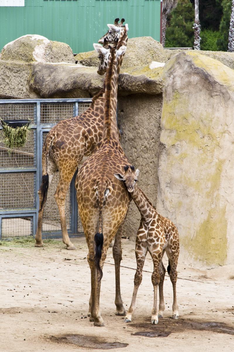 Santa Barbara Zoo 012 Masai Giraffe Baby