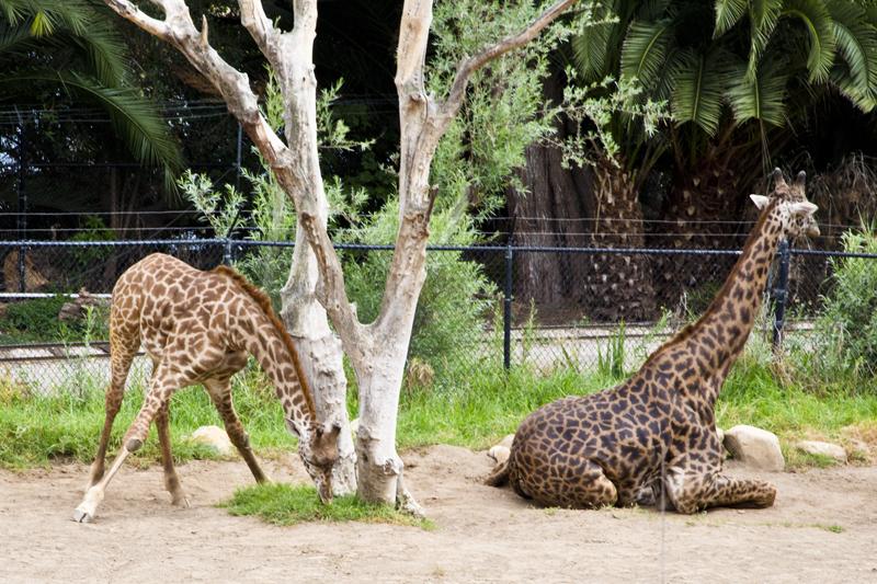 Santa Barbara Zoo 012 Masai Giraffes
