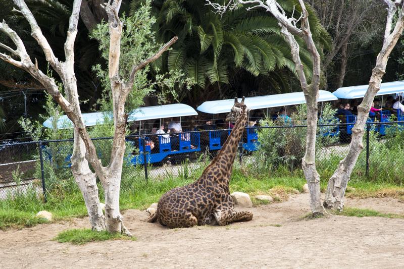 Santa Barbara Zoo 013 Masai Giraffes