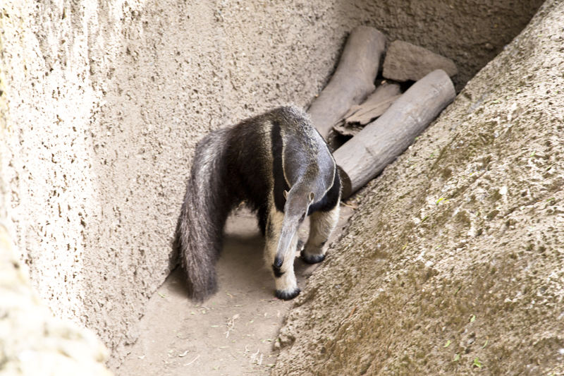 Santa Barbara Zoo 020 giant anteater
